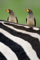 """Yellow-Billed oxpeckers (Buphagus africanus) on top of a zebra, Ngorongoro Crater, Ngorongoro, Tanzania by Panoramic Images - 16"""" x 24"""""""