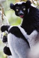 "Close-up of an Indri lemur (Indri indri), Andasibe-Mantadia National Park, Madagascar by Panoramic Images - 16"" x 24"""