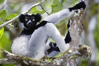 "Indri lemur (Indri indri) sitting on a tree, Andasibe-Mantadia National Park, Madagascar by Panoramic Images - 16"" x 11"""