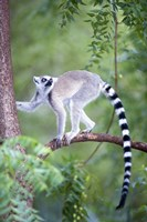 "Ring-Tailed lemur (Lemur catta) climbing a tree, Berenty, Madagascar by Panoramic Images - 16"" x 24"""