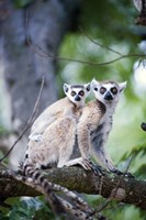 """Ring-Tailed lemur (Lemur catta) with its young one, Berenty, Madagascar by Panoramic Images - 16"""" x 24"""""""