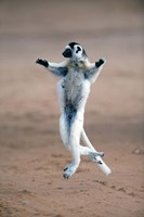 """Verreaux's sifaka dancing in a field, Berenty, Madagascar by Panoramic Images - 16"""" x 24"""" - $34.99"""