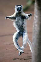 """Close up of Verreaux's sifaka Monkey dancing in a field, Berenty, Madagascar by Panoramic Images - 16"""" x 24"""""""