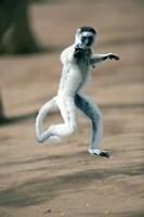 """Verreaux's sifaka monkey, Berenty, Madagascar by Panoramic Images - 16"""" x 24"""" - $34.99"""
