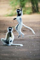 "Pair of Verreaux's sifaka in a field, Berenty, Madagascar by Panoramic Images - 16"" x 24"" - $34.99"