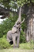 "African elephant (Loxodonta africana) reaching for baobab (Adansonia digitata) tree leaves, Tarangire National Park, Tanzania by Panoramic Images - 16"" x 24"""