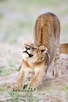 """Lioness (Panthera leo) stretching in a forest, Tarangire National Park, Tanzania by Panoramic Images - 16"""" x 24"""", FulcrumGallery.com brand"""
