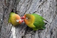 "Close-up of a pair of lovebirds, Ndutu, Ngorongoro, Tanzania by Panoramic Images - 16"" x 11"", FulcrumGallery.com brand"