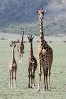 "Giraffes (Giraffa camelopardalis) standing in a forest, Lake Manyara, Tanzania by Panoramic Images - 16"" x 24"""
