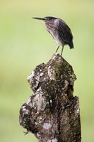 """Close-up of a Green heron (Butorides virescens), Cano Negro, Costa Rica by Panoramic Images - 16"""" x 24"""""""
