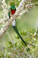 Close-up of Resplendent quetzal (Pharomachrus mocinno) perching on a branch, Savegre, Costa Rica Fine Art Print