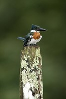 "Close-up of Amazon kingfisher (Chloroceryle amazona) perching on a wooden post, Cano Negro, Costa Rica by Panoramic Images - 16"" x 24"""