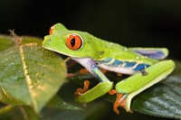 """Red-Eyed Tree frog (Agalychnis callidryas) on leaves by Panoramic Images - 16"""" x 11"""""""