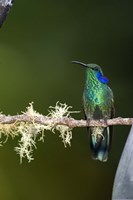 """Close-up of a Green Violetear hummingbird (Colibri thalassinus) perching on branch, Savegre, Costa Rica by Panoramic Images - 16"""" x 24"""""""
