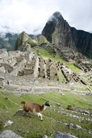 High angle view of Llama (Lama glama) with Incan ruins in the background, Machu Picchu, Peru Fine Art Print
