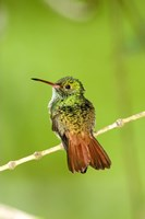 """Close-up of Rufous-Tailed hummingbird (Amazilia tzacatl) perching on a twig, Costa Rica by Panoramic Images - 16"""" x 24"""" - $34.99"""