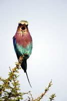 """Lilac-Breasted Roller (Coracias caudatus) bird perching on a branch, Tarangire National Park, Tanzania by Panoramic Images - 16"""" x 24"""", FulcrumGallery.com brand"""