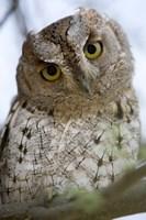 """Close Up of an African Scops owl (Otus senegalensis), Tarangire National Park, Tanzania by Panoramic Images - 16"""" x 24"""""""
