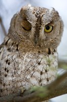 """African Scops owl (Otus senegalensis) winking on a branch, Tarangire National Park, Tanzania by Panoramic Images - 16"""" x 24"""""""