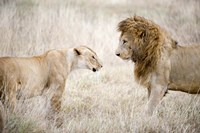 Lion and a lioness (Panthera leo) standing face to face in a forest, Ngorongoro Crater, Ngorongoro, Tanzania Fine Art Print
