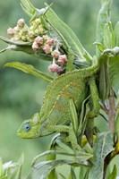 Close-up of a Dwarf chameleon (Brookesia minima), Ngorongoro Crater, Ngorongoro, Tanzania Fine Art Print
