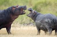 Two hippopotamuses (Hippopotamus amphibius) sparring in a forest, Ngorongoro Crater, Ngorongoro, Tanzania Fine Art Print
