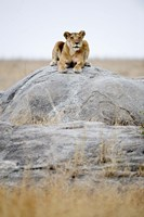 """Lioness on a Rock, Serengeti, Tanzania by Panoramic Images - 16"""" x 24"""", FulcrumGallery.com brand"""
