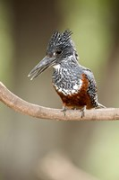 "Giant kingfisher (Megaceryle maxima) perching on a branch, Lake Manyara, Tanzania by Panoramic Images - 16"" x 24"""