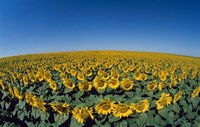 Sunflowers Helianthus Annuus in a Field