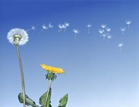 Dandelion (Taraxacum officinale) seeds blowing in the air Fine Art Print