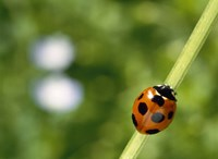 Ladybug on a stem Fine Art Print