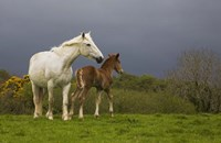 """Mare and Foal, Co Derry, Ireland by Panoramic Images - 16"""" x 10"""""""