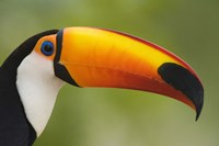 Close-up of a Toco toucan (Ramphastos toco), Three Brothers River, Meeting of the Waters State Park, Pantanal Wetlands, Brazil Fine Art Print