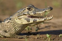 Yacare caiman (Caiman crocodilus yacare), Three Brothers River, Meeting of the Waters State Park, Pantanal Wetlands, Brazil Fine Art Print
