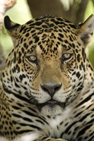 Close-up of a Jaguar (Panthera onca), Three Brothers River, Meeting of the Waters State Park, Pantanal Wetlands, Brazil Fine Art Print