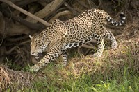 Jaguar (Panthera onca) foraging in a forest, Three Brothers River, Meeting of the Waters State Park, Pantanal Wetlands, Brazil Fine Art Print
