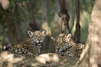 Jaguars (Panthera onca) resting in a forest, Three Brothers River, Meeting of the Waters State Park, Pantanal Wetlands, Brazil Fine Art Print