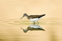 """Close-up of a Wood sandpiper (Tringa glareola) in water, Keoladeo National Park, Rajasthan, India by Panoramic Images - 16"""" x 11"""", FulcrumGallery.com brand"""