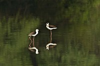 """Close-up of two Black-Winged stilts (Himantopus himantopus) in water, Keoladeo National Park, Rajasthan, India by Panoramic Images - 16"""" x 11"""""""