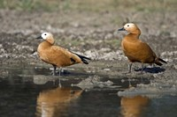 """Close-up of two Ruddy shelduck (Tadorna ferruginea) in water, Keoladeo National Park, Rajasthan, India by Panoramic Images - 16"""" x 11"""""""