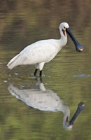 """Eurasian spoonbill (Platalea leucorodia) in a lake, Keoladeo National Park, Rajasthan, India by Panoramic Images - 16"""" x 24"""", FulcrumGallery.com brand"""