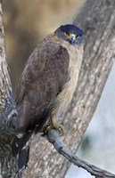 """Crested Serpent eagle (Spilornis cheela) perching on tree, Kanha National Park, Madhya Pradesh, India by Panoramic Images - 16"""" x 24"""""""