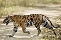 """Bengal Tiger (Panthera tigris tigris) walking in a forest, Bandhavgarh National Park, Umaria District, Madhya Pradesh, India by Panoramic Images - 16"""" x 11"""" - $23.99"""