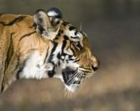 "Close-up of a Bengal tiger (Panthera tigris tigris), Bandhavgarh National Park, Umaria District, Madhya Pradesh, India by Panoramic Images - 16"" x 13"""