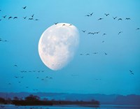 "Migrating Birds in Blue Sky with Half Moon by Panoramic Images - 36"" x 28"""