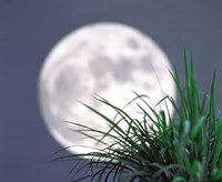 """Grass blades With Full Moon in Background by Panoramic Images - 36"""" x 30"""""""
