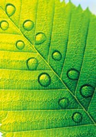 "Extreme Close Up of Leaf Vein with Droplets by Panoramic Images - 17"" x 24"", FulcrumGallery.com brand"