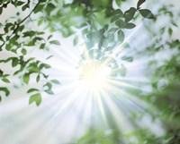 """Sun Shining Through Leaves, Lens Flare by Panoramic Images - 36"""" x 29"""""""