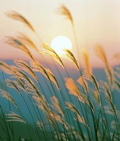 "Tall Grass with Sunset in Background, Silhouette by Panoramic Images - 31"" x 36"""