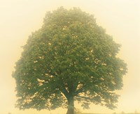 "Big Tree In Early Morning Mist by Panoramic Images - 24"" x 20"""